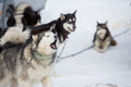 Sled dog racing masserberg germany february trans thüringia the annual teams race different classes in masserberg thuringia Stock Images