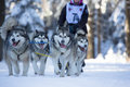 Sled dog racing masserberg germany february trans thüringia the annual teams race different classes in masserberg thuringia Stock Photos