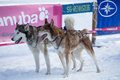 Sled dog racing masserberg germany february trans thüringia the annual teams race different classes in masserberg thuringia Stock Photography