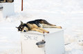 Sled dog sleeping on the top of its house in the snow Stock Image