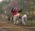 Sled dogs racing. Royalty Free Stock Photo