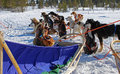 Sled dogs with sledge Stock Photos