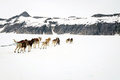 Sled dogs take a rest break during a training run mostly malamutes and huskies dog on glacier in alaska usa Stock Images