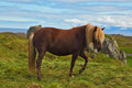 The sleek horse iceland in july farmer a beautiful grazing in a meadow near farm Stock Images