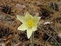 Sleep grass pulsatilla flower bud son blooming in spring Royalty Free Stock Photo
