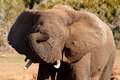Sleep Time - African Bush Elephant