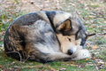 Sleeping Alaskan Malamute Royalty Free Stock Images