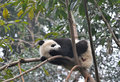 Sleeping baby panda in a tree Stock Photos