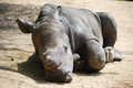 Sleeping baby rhino Stock Images