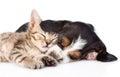 Sleeping basset hound puppy hugs tiny kitten. isolated on white Royalty Free Stock Photo