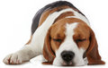 Sleeping beagle dog on white background Stock Images