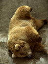 Sleeping bear Stock Images
