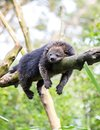 Sleeping bearcat wild binturong on tree Stock Photos