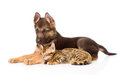 Sleeping bengal kitten lying with german shepherd puppy dog. Royalty Free Stock Photo