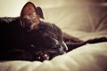 Sleeping black cat toned image with selective focus on s nose Royalty Free Stock Images