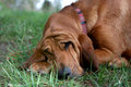 Sleeping bloodhound dog Stock Photo