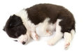 Sleeping border collie puppy Stock Photos
