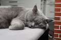 Sleeping british shorthair cat detail blue domesticated whose features make it a popular breed in shows Royalty Free Stock Photos