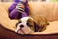 Sleeping bulldog puppy with toy Royalty Free Stock Photo