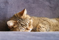 Sleeping cat british short hair black golden spotted on the sofa Royalty Free Stock Images