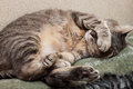Sleeping cat cute gray domestic closeup portrait Stock Photos