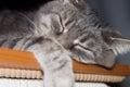 Sleeping cat cute gray domestic closeup portrait Royalty Free Stock Image