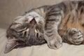 Sleeping cat cute gray domestic closeup portrait Royalty Free Stock Photos