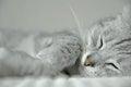 Sleeping cat portrait of grey on white towel Stock Photos