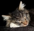 Sleeping cat portrait of a norwegian forest in dark back Royalty Free Stock Photography