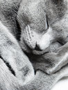 Sleeping cat russian blue indoors natural light and colors Royalty Free Stock Images