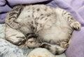 Sleeping cat on a sofa, sleeping cat in blur noisy background, small sleepy lazy cat, sleeping kitten, sleepy cat close up, animal Royalty Free Stock Photo