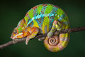Sleeping Chameleon Royalty Free Stock Photo