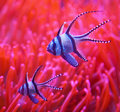 Sleeping clown fish a with closed eye swimming with red coral on the back Stock Photo