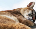 Sleeping cougar wild beautiful puma fast asleep in the fresh air on the two american continents has a cat in other words her name Stock Images