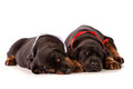 Sleeping dobermann puppies on white background Stock Photos