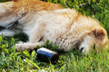 Sleeping dog with alcohol bottle Stock Photo