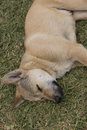 ตsleeping dog brown lying and sleeping on the grass Stock Photography