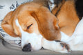 Sleeping dog curled up pet beagle on a cushion Royalty Free Stock Image