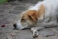 Sleeping Dog Dreaming Royalty Free Stock Photo