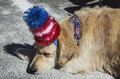 Sleeping dog with red white and blue hat july independence day parade telluride colorado usa Stock Photography