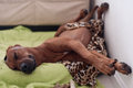 Sleeping dog rhodesian ridgeback on his bed Stock Images