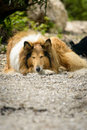 Sleeping dog tired rough collie resting in nature Royalty Free Stock Images