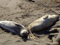 Sleeping elephant seals head to tail two female asleep on california beach Stock Photography