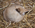 Sleeping fennec fox photo of a in straw Stock Photos