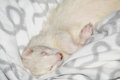 Sleeping ferret white on a blanket Royalty Free Stock Images