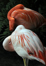 Sleeping Flamingos Royalty Free Stock Photos
