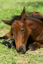 Sleeping foal Royalty Free Stock Photos