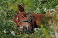 Sleeping foal is on the green grass Royalty Free Stock Images