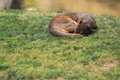 Sleeping fossa grass Royalty Free Stock Images