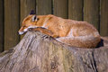 Sleeping Fox Royalty Free Stock Photo
